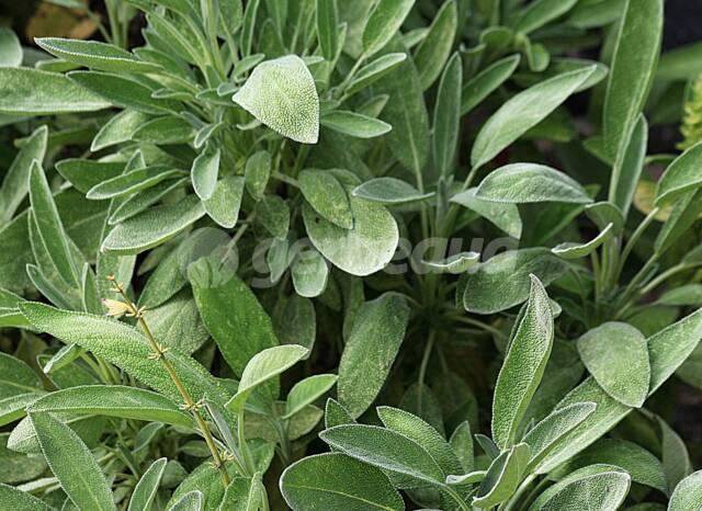 Medicinal plante aromatique 50 Graines de Sauge sclarée tisane