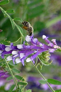 Plantes et insectes : sensibilisation à l'apiculture  - Oderen - Juin 2014