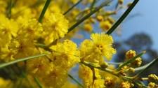L'odyssée des Mimosas au Domaine du Rayol - Rayol-Canadel-sur-Mer - Janvier 2015
