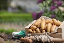 Plantez la pomme de terre Pompadour en mars 2017 - France métropolitaine - Mars 2017