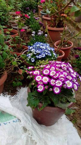 Nom petite plante avec petite fleure bi couleurs grenat et blanc - 28553