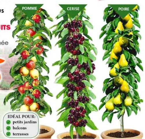Fruitiers nains - 28639