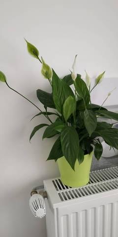 Fleurs de spathiphyllum qui deviennent verte après être blanche? - 28738