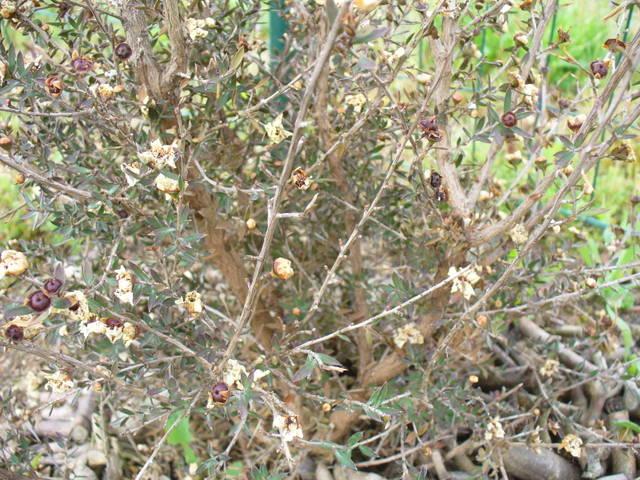 Leptospermum scoparium sec aprs floraison - 28963