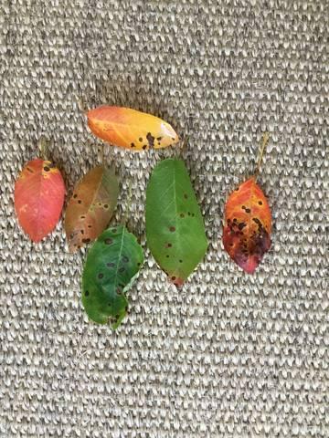 Mes feuilles d'amélanchier sont malades - 29083
