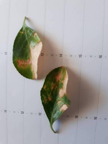 Taches brun clair sur feuilles - 29126