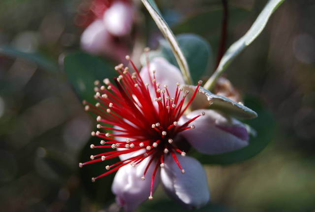 Foggia(arbuste donnant des fruits commestibles) - 29161