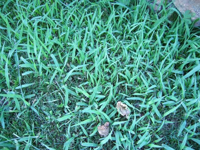 Plante invasive pelouse - 29379