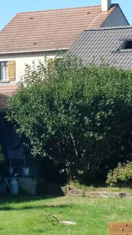 Chevrefeuille arbre - 29426
