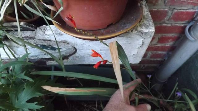 Hemerocalles qui ne fleurissent plus - 29453